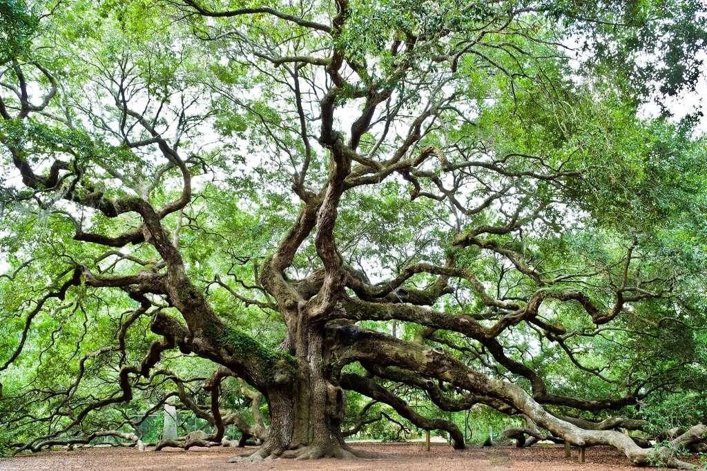 Le chêne ange possède de magnifiques branches. © Emil, Flickr