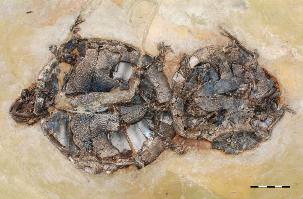 Enlacées pour l'éternité : ce couple de tortues Allaeochelys crassesculpta a péri brutalement et est resté figé au fond de la vase d'un lac volcanique. © Walter G. Joyce et al./ Biology Letters