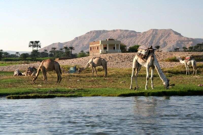 Chameaux broutant sur les bords du Nil à Louxor, en Égypte. © Steve FE-Cameron, Wikipédia, GNU 1.2