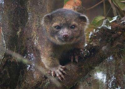 L'olinguito (Bassaricyon neblina) est la première espèce de mammifères carnivores découverte dans l'hémisphère occidental depuis 35 ans. © Mark Gurney, cc by 3.0