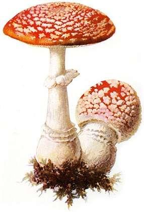 L'amanite tue-mouches, appelée aussi « fausse oronge », est le champignon toxique et psychotrope le plus connu de la famille des amanites. Elle provoque rarement la mort. © Albin Schmalfuß, 1897, Wikimedia Commons, DP