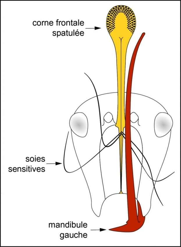 Vue schématisée de la tête de Ceratomyrmex ellenbergeri illustrant le mécanisme de piège formé par les mandibules surdimensionnées et la corne spatulée, et déclenché par contact des soies sensitives. © V. Perrichot