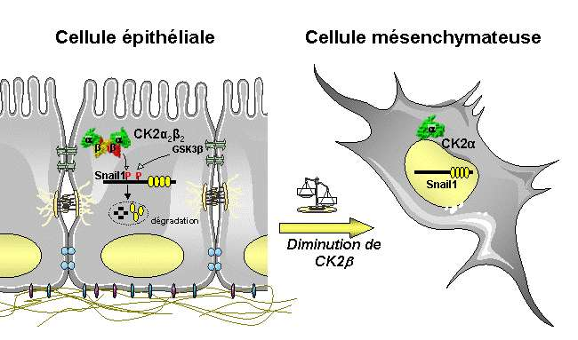 Le facteur Snail1, présent sous sa forme phosphorylée, est dégradé en permanence dans les cellules épithéliales. Lorsque CK2 est inactivée à cause d'une altération, elle n'assure plus son rôle de phosphorylation. L'EMT s'active, la transformation en cellule mésenchymateuse se produit. © A. Deshiere, O. Filhol-Cochet