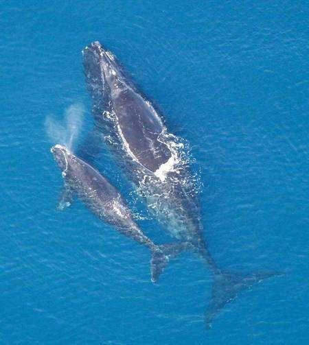 La Baleine des Basques a préféré déserter les eaux françaises... Source Commons