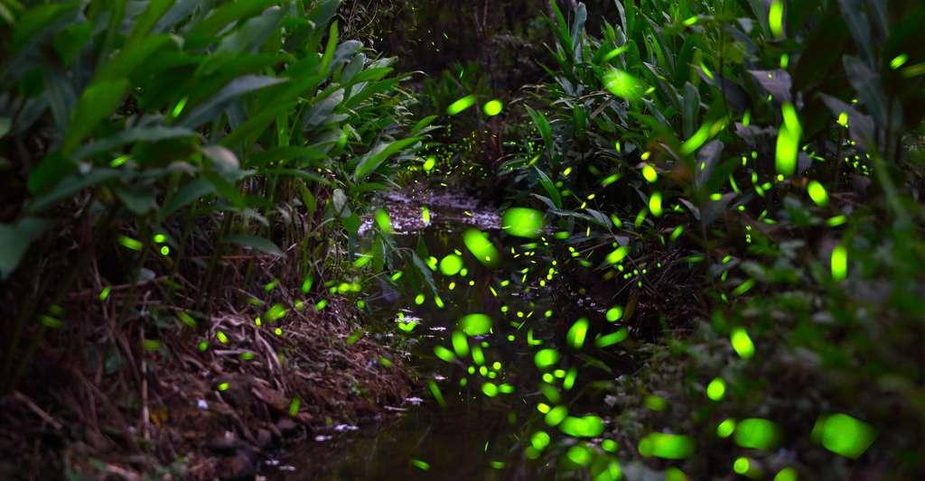 Lucioles dans la forêt
