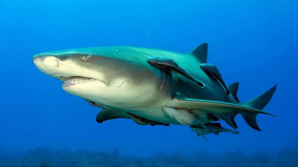 Le requin-citron : un camouflage jaune