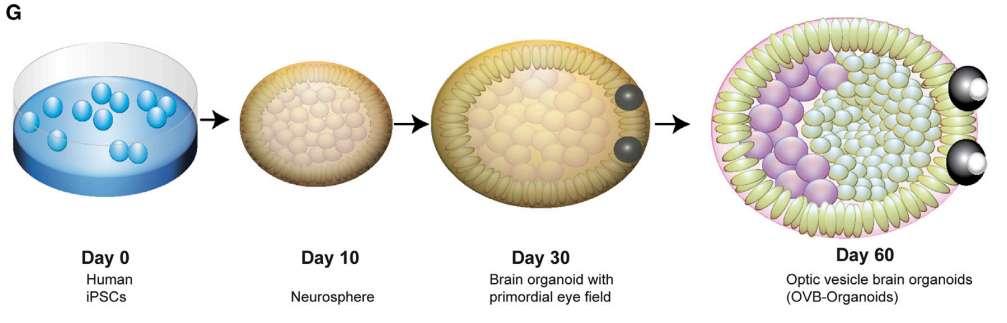 Le développement de l'organoïde cérébral à partir des iPSC jusqu'à l'apparition des vésicules optiques après 60 jours de culture. © Extrait de Gabriel et al., Cell Stem Cell