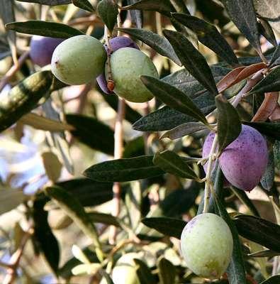 Olivier, fruits murissants © NickFraser Licence de documentation libre GNU, version 1.2