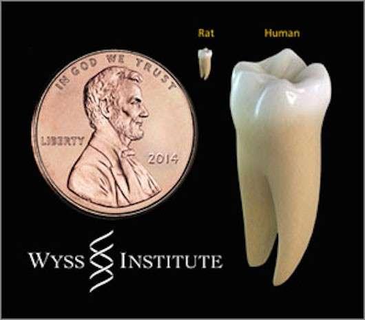 La comparaison de taille entre une molaire humaine et une dent de rat permet de comprendre la difficulté technique de cette expérience... La pièce de 1 cent, à gauche, mesure 19 mm de diamètre. À noter que la plus petite des deux dents n'est pas celle d'un rongeur ; il s'agit d'une dent humaine réduite à la bonne échelle. © James Weaver, institut Wyss de Harvard