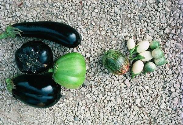 Les variétés d'aubergines