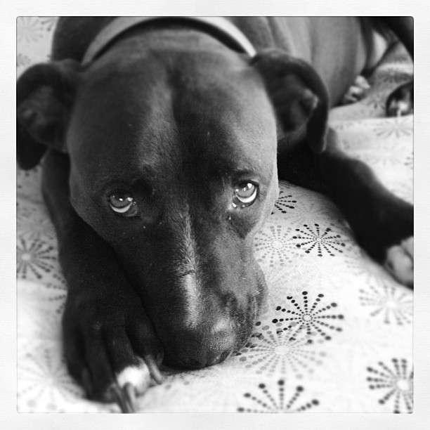 Les chiens anxieux et tristes se mettent parfois à présenter des comportements stéréotypés et étranges à nos yeux, comme tenter d'attraper leur queue et de la mordiller. Souvent, c'est parce qu'ils souffrent de Toc, exactement comme 2 % des êtres humains. © Melgupta, Flickr, cc by nc sa 2.0
