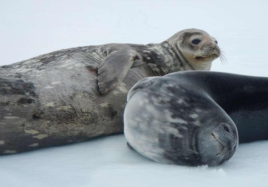Les phoques de Weddell prospèrent en Antarctique, sur la banquise et sous les eaux. Ils sont capables de plonger à 600 mètres de profondeur, et de rester immergés 80 minutes ! © Elliott Devries