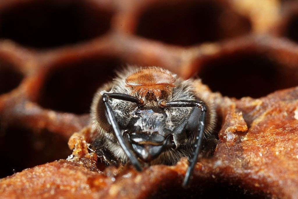 Les abeilles font face à de multiples dangers, d'origine humaine, comme les pesticides, ou naturels, comme le parasite Varroa destructor, dont on voit ici un individu juché sur la tête de l'insecte. © Gilles San Martin, Flickr, CC by-sa 2.0