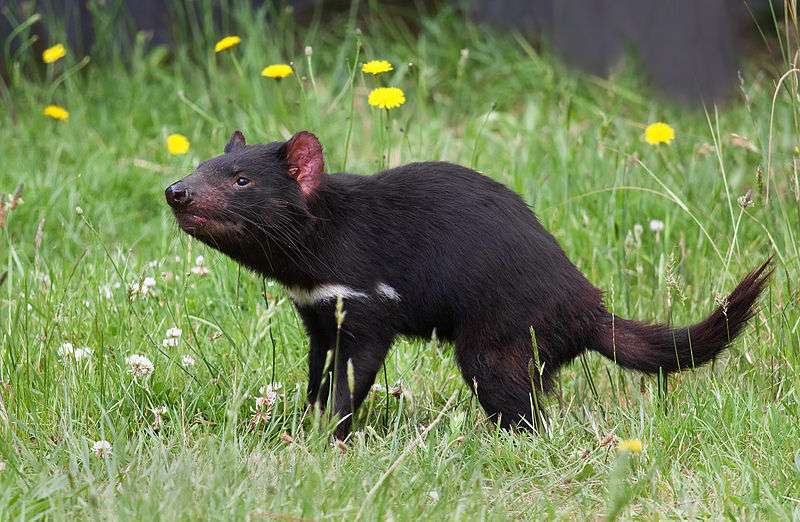 Portrait d'un diable de Tasmanie. © JJ Harrison, Wikipédia, cc by sa 3.0