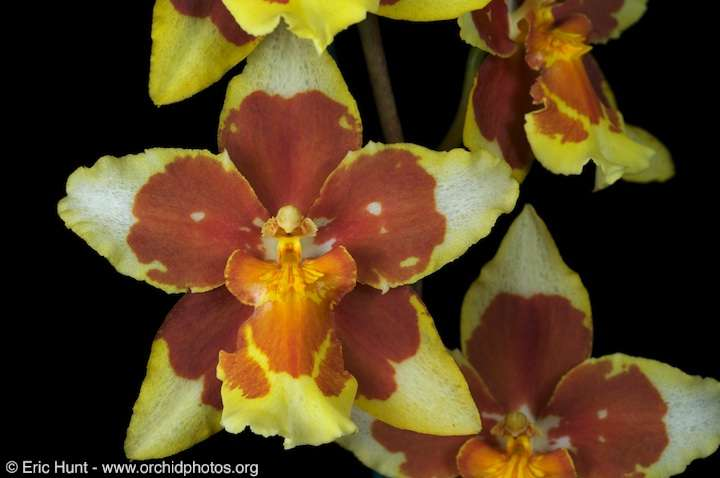 Orchidée Golden Gate