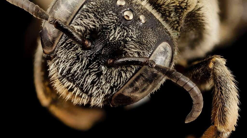 Tête de l'abeille Ancyla asiatica