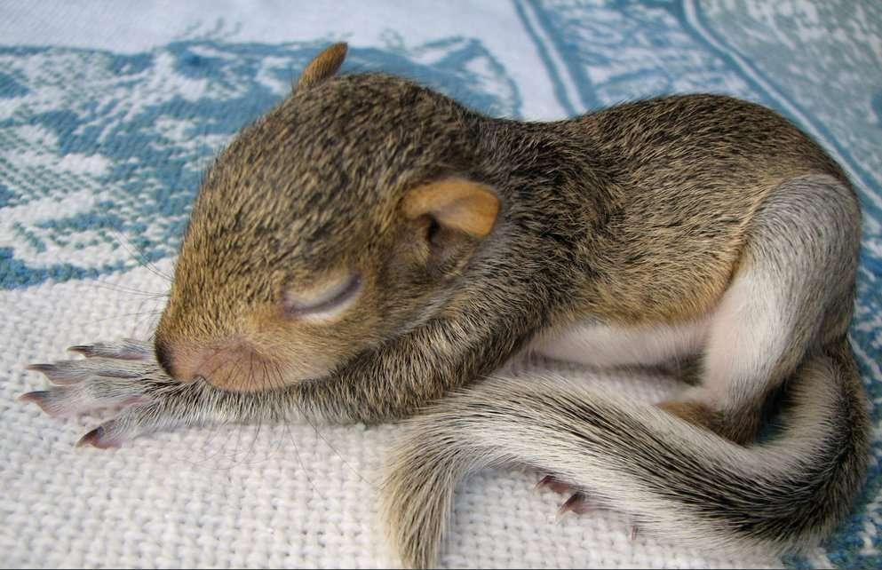 Un bébé d'écureuil, en pleine sieste... Retrouvez tous les petits en cliquant sur l'image. © Audreyjm529 CC