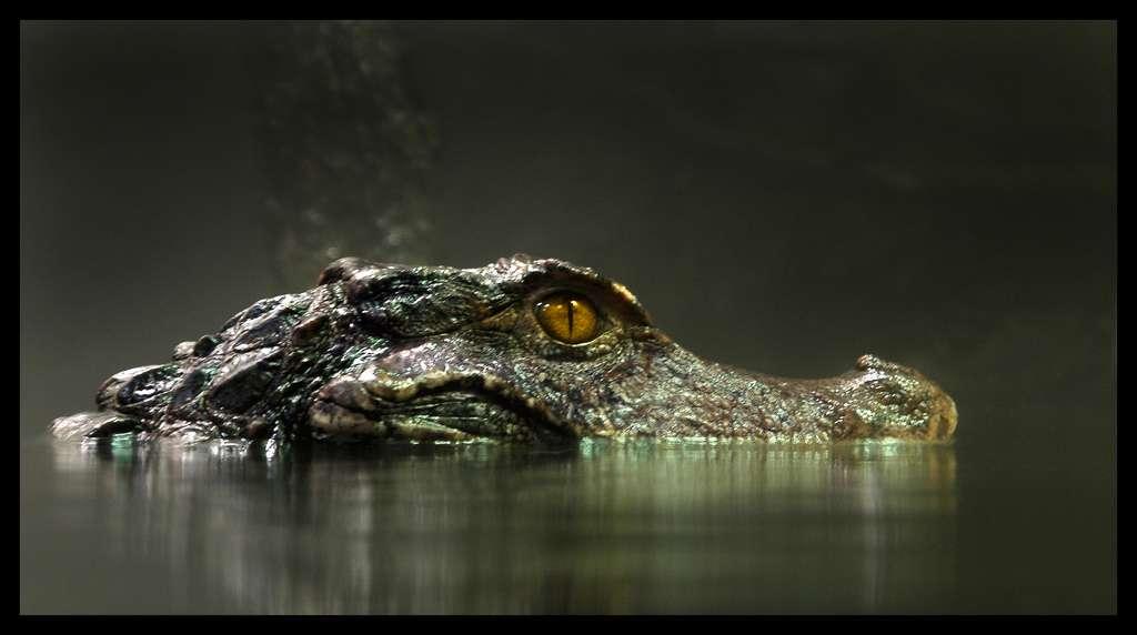Le caïman nain, un alligator taille réduite