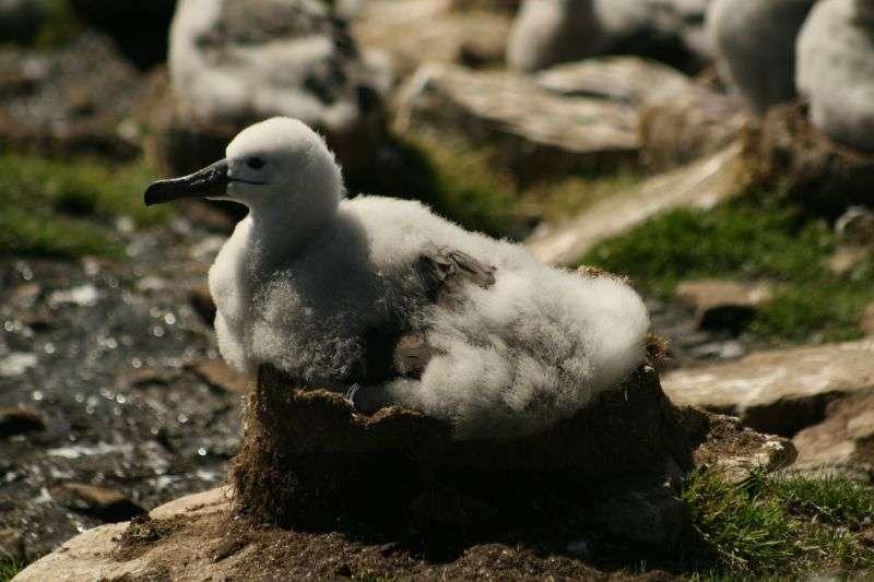 Poussin d'albatros à sourcil noir. © Chris Pearson, CC-by-2.0