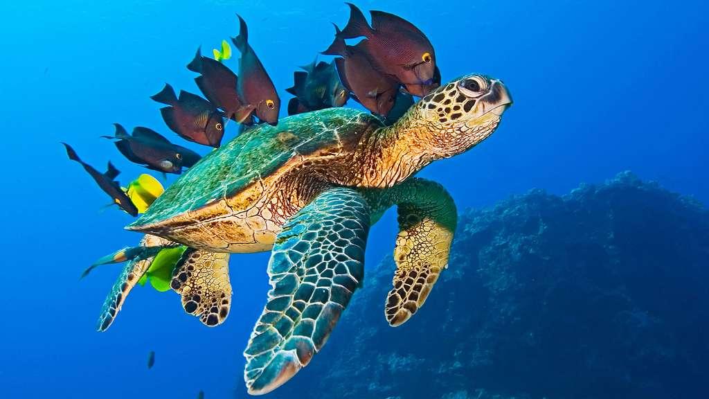 Une tortue de mer accompagnée de poissons