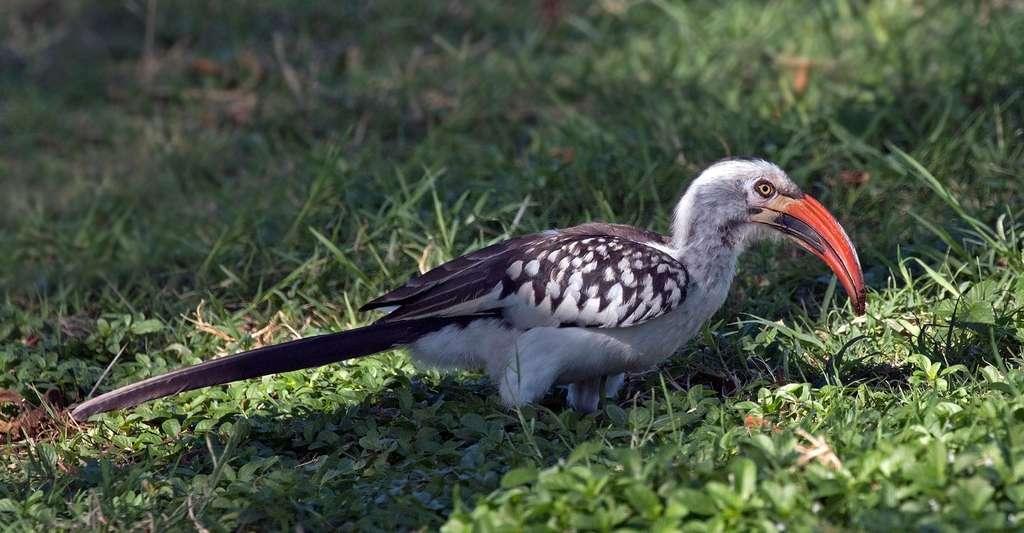 Calao (Tockus erythrorhynchus). © Charlesjsharp, Wikimedia commons, CC by-sa 4.0