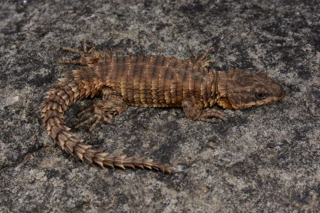 Cordylus Phonolithos, un lézard à écailles de la famille des Cordylidae, a été découvert dans les hautes montagnes de la Serra da Neve au sud-ouest de l'Angola. © 2019 Ishan Agarwal