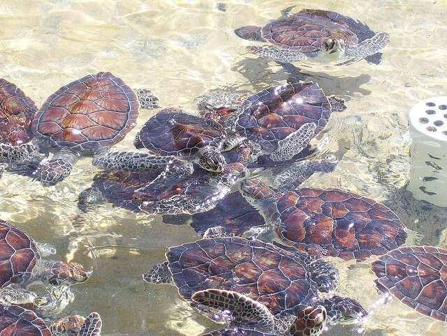 Élevage de jeunes tortues imbriquées dans les îles Caïman. © cdebeowulf, CC BY-NC 2.0