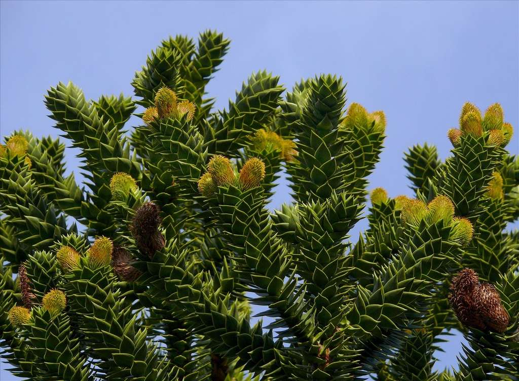 Araucaria araucana. © JG in SF, Flickr CC by nc-nd 2.0