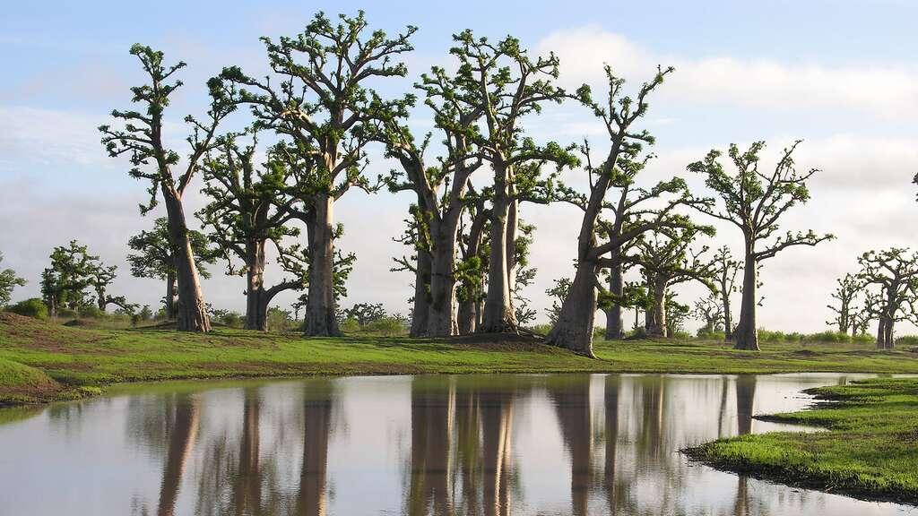 Baobabs dans un paysage de brousse