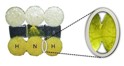 Deux Physarum « expérimentés », ou « habitués » (H), ont fusionné avec un blob « naïf » (N). À droite, l'observation, au moins trois heures plus tard, montre la formation d'un canal entre les deux organismes. © David Vogel