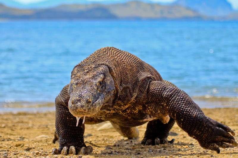 Le dragon de Komodo est un varan géant pouvant mesurer plusieurs mètres. © Adhi Rachdian, Flickr