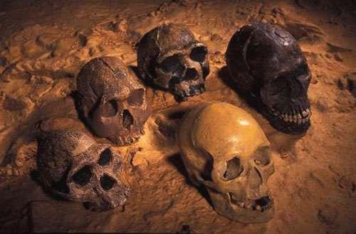 Les crânes de la lignée humaine