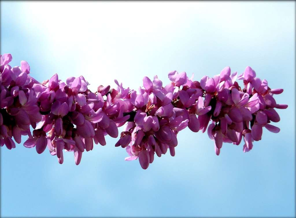 Cercis silliquastrum. © Bambo, Flickr CC by nc sa 2.0