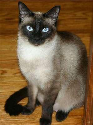 Le chat Siamois européen. © Chantel Hurlow, Licence GFDL/fr
