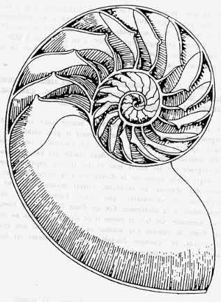 La coquille du nautile dessine une spirale logarithmique. Cliquez pour comprendre la logique des spirales végétales. © DR