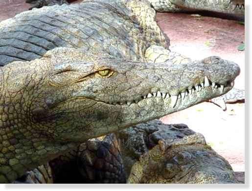 Profil du crocodile du Nil © Photo Philippe Mespoulhé Reproduction interdite