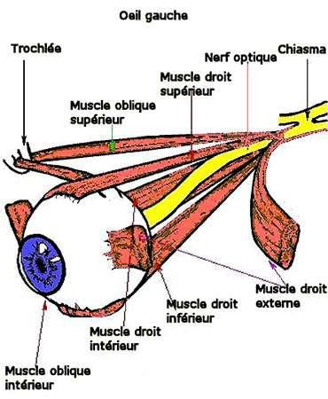 Muscles de l'oeil Reproduction et utilisation interdites