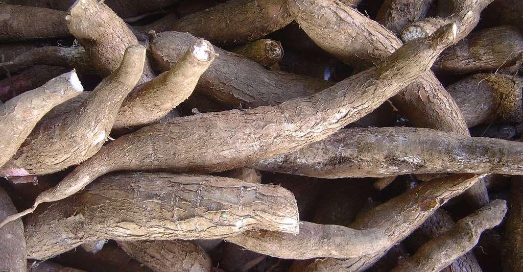 Manioc. © David Monniaux - CC BY-SA 3.0