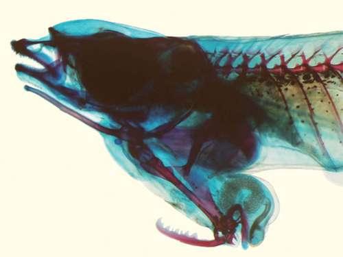 Ce Phallostethus cuulong mâle a subi deux colorations en vue de rendre les structures osseuses rouges et les éléments cartilagineux bleus. L'os dentelé en bas de l'image, le cténactinium, serait utilisé pour immobiliser la femelle pendant l'accouplement. Il serait aidé par des mouvements du toxactinium, l'os long situé sous la mâchoire inférieure, en haut et à gauche de la photographie. © Shibukawa et al. 2012, Zootaxa