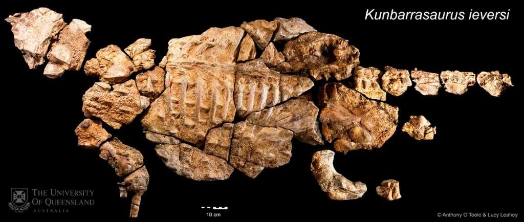 Voila à quoi ressemblent les restes fossilisés de Kunbarrasaurus ieversi. © Anthony O'Toole et Lucy Leahey