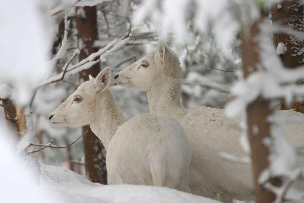 Magnifique couple de daims albinos