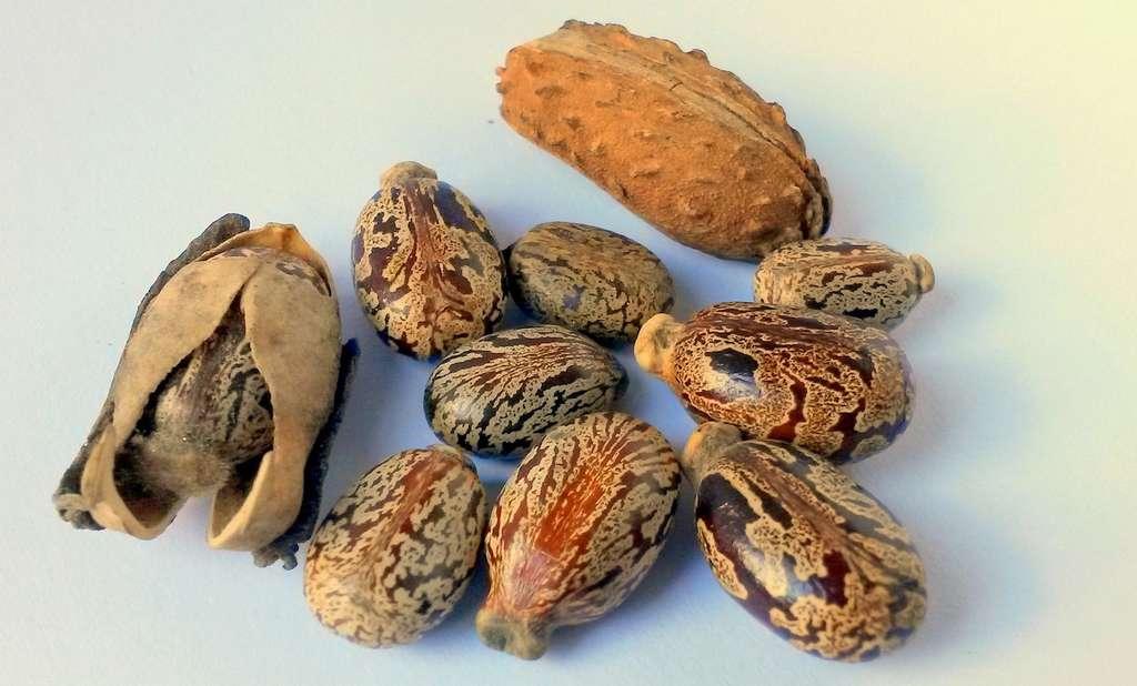 Par ingestion, les doses létales de ricin varient entre 3 et 8 graines, selon les personnes et leur âge. © gokalpiscan, Pixabay, CC0 Public Domain
