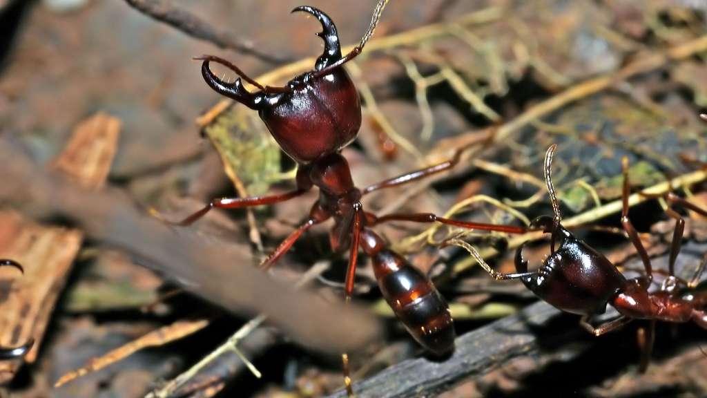 Les étonnantes fourmis légionnaires