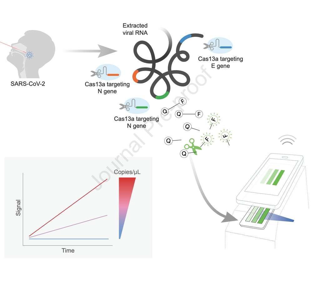 Schéma récapitulatif du fonctionnement de ce test de dépistage du coronavirus encore expérimental. © Parinaz Fozouni et al. Cell