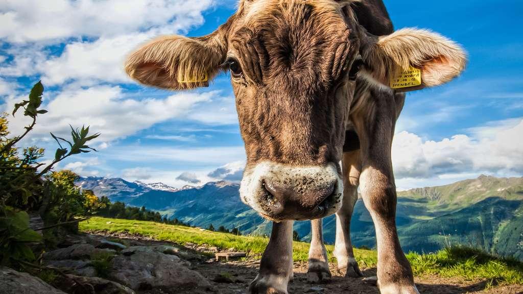 Les expressions contenant le mot « vache »