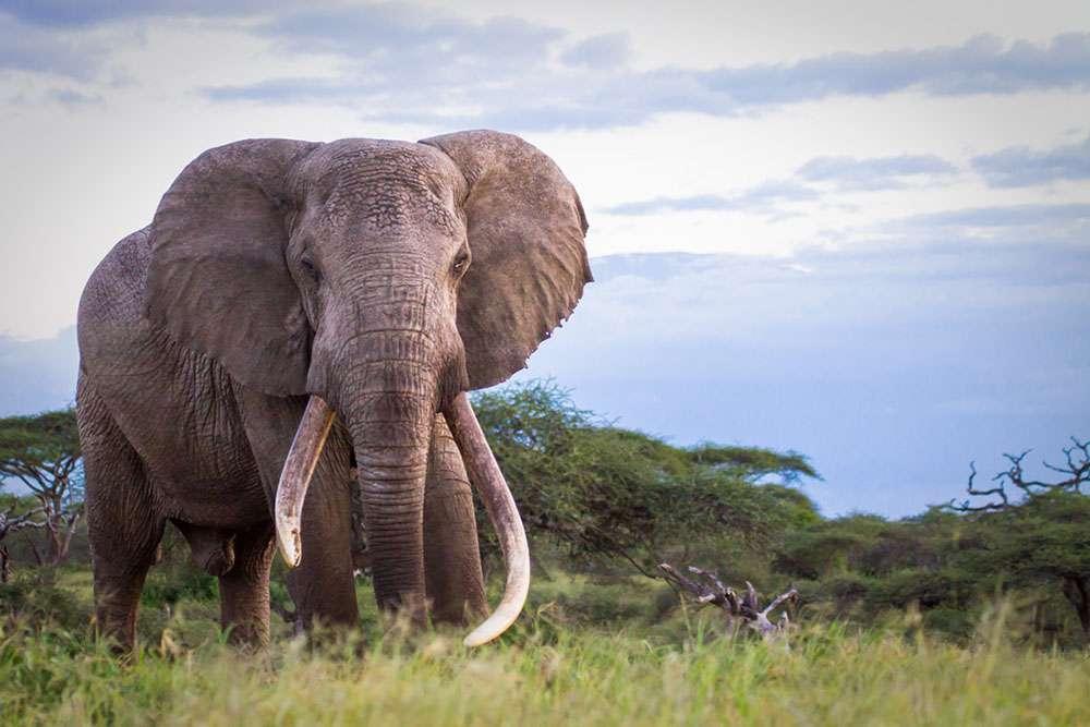L'éléphant, le majestueux et plus grand animal terrestre vivant. © Jeremy Goss, Big Life Foundation, tous droits réservés, reproduction interdite