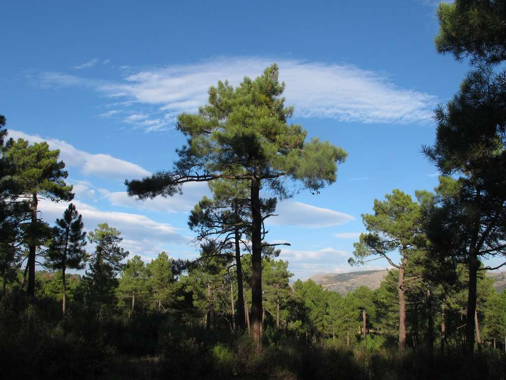 Un pin maritime, que l'on appelle aussi Pinus pinaster. © Jacciluch, CC by-nc-sa 2.0