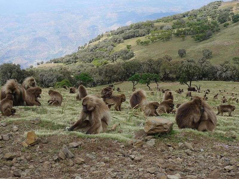 Groupe de géladas sur les mont Semien. © Alastair Rae, CC by-SA 2.0