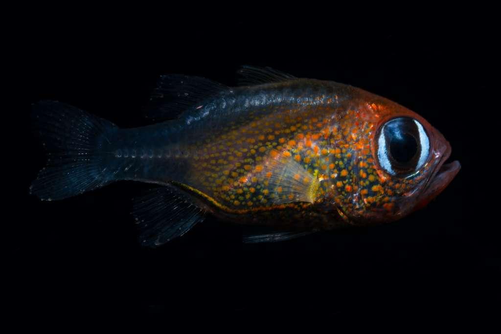 Siphamia Arnazae est un poisson cardinal originaire de Papouasie-Nouvelle-Guinée. © 2019 Mark Erdmann