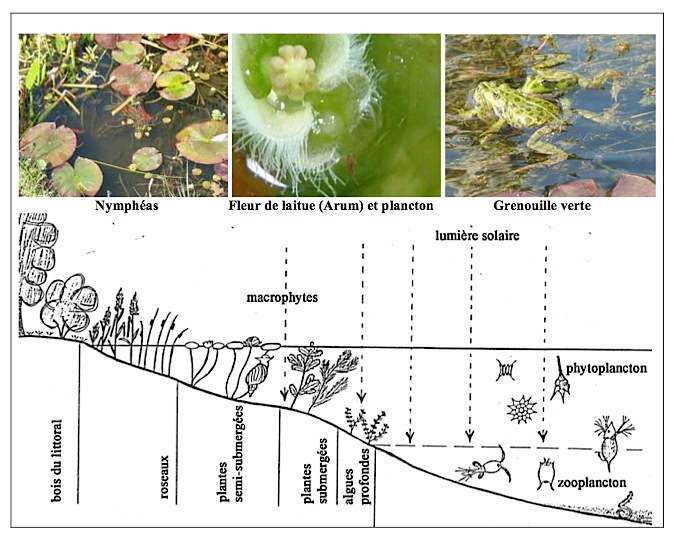 Réseau trophique en bassin d'eau douce. © photos Passionbassin.com Schéma © BioNova